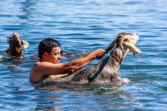 2018-06-24 Ziegenbad in Puerto de la Cruz (08) - Das Ziegenbad (Baño de Cabras) ist eine alte Tradition der Ureinwohner der Kanaren (Guanchen). Es wird jedes Jahr am 24. Juni in Puerto de la Cruz auf Teneriffa veranstaltet. Ziegenherden aus dem Umland wer (mike.bulter) Tags: animal bañodecabras canarias canaries canaryislands esp espana goat hafen kanaren kanarischeinseln puertodelacruz spain spanien tenerife teneriffa tier tradition ziege ziegenbad ziegenbaden ziegenhirte baño de las cabras