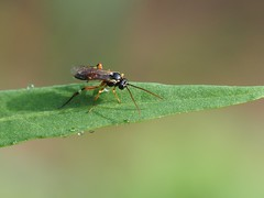 Diplazon laetatorius (Iyp-tala) Tags: diplazon laetatorius wasp