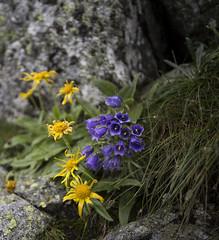Tatry11 (Marek Hlaváč) Tags: tatra mountains hory tatry flower grass rock kytky canon eos 6d ef20mm f28 usm