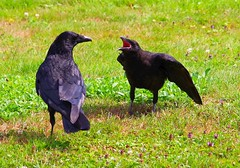 crows (alph@ wolf) Tags: rabe krähe crow bird raubvogel animal alphawolf photography natur photo pentax pentaxart pentaxk1 park naturphotography vogel