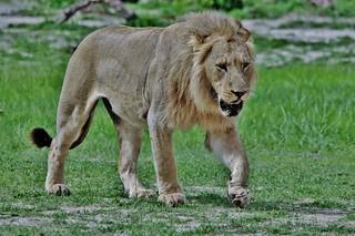 Sub Adult Male Lion (Panthera leo)