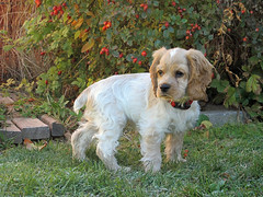 Puppy Pausing (Kabbri) Tags: animal cockerspaniel puppy standing buff grass bush leaves leaf nature nopeople mammal outdoor color dog day summer pedigree domestic naturallighting outdoors pet cute autumn white friend adorable canine brown green beautiful purebred breed doggy young