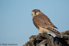 Kestrel (Matt Hazleton) Tags: kestrel falcotinnunculus falcon bird wildlife nature animal outdoor matthazleton matthazphoto canon canoneos7dmk2 canon100400mm eos 7dmk2 100400mm raptor