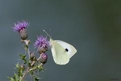 Klein koolwitje (jehazet) Tags: pierisrapae kleinkoolwitje vlinders butterfly jehazet