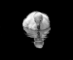Duckling Selfie (maggie.henfield) Tags: duckling fluffy white reflection