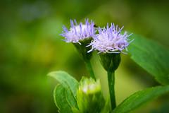 Tiny Pair (sukaduka43) Tags: closeup flower green nature plant purple tiny tropical wild