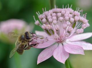 honey bee on astrantia flower