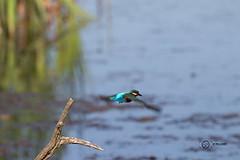 Kingfisher in flight (GPNR) (simon.williams28) Tags: nature north east birds twitcher twitchers northumberlandwildlifetrust durhamwildlifetrust wildlife naturereserve lowbarnsnaturereserve gosforthparknaturereserve