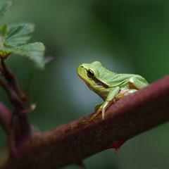 Wie is daar? (nikjanssen) Tags: hylaarborea boomkikker treefrog macro nature vintagelenses helios442 bokeh