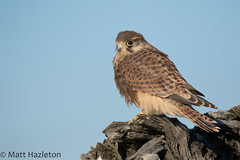 Kestrel (Matt Hazleton) Tags: kestrel falcon falcotinnunculus raptor bird birdofprey nature wildlife animal outdoor canon canoneos7dmk2 canon100400mm eos 7dmk2 100400mm matthazleton matthazphoto