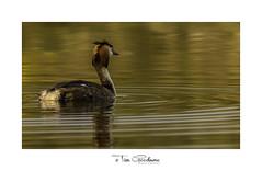 Serene copper waters (timgoodacre) Tags: grebe greatcrestedgrebe water waterfowl waterbird wildbird wildlife wildanimal bird birds birdportrait nature ngc animal