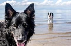 Beach day with doggos..xx (shona.2) Tags: gullane scotland arthur jack playful fun hot tongue ears water sea doggo dogs pets beach