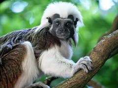 gremlins (Isabelle Delivert-Darson) Tags: gremlins besancon citadelle zoo singe