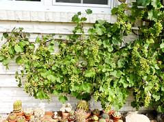 Weintrauben (Eerika Schulz) Tags: weintrauben trauben wine pflanze plant