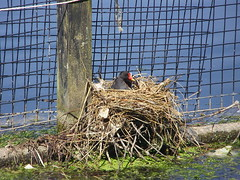 Moorhen nest (Nekoglyph) Tags: albertpark middlesbrough teesside lake water blue green bird wildlife nature moorhen red yellow black fence grid twigs messy wire