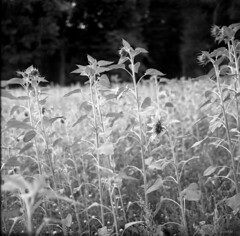 200718008 (salparadise666) Tags: zeiss ikon super ikonta b opton tessar 80mm fomapan 200125 caffenol cl 40min nils volkmer vintage medium format folding analogue film camera bw black white monochrome landscape square 6x6 hannover region niedersachsen germany north german plains lowlands harvest time summer