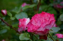 Parc et roseraies (isamiga76) Tags: châteaudemesnilgeoffroy ermenouville parc park jardin garden roseraie rosegarden normandy normandie seinemaritime france
