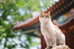 DSC01782+ (๑Kerchak๑) Tags: cat straycat streetcat meow color colour temple fayuansi china beijing cute