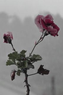 El Geranio demostrando su resistencia ante la naturaleza; frío, lluvia y neblina. #flor #flowersofinstagram #instaflowers #naturaleza #lluvia #neblina #botanical #floweroftheday #primavera #flower #oaxaca #mexico.
