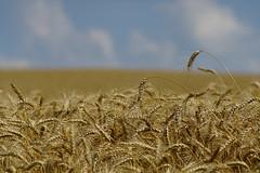 Wheatbokeh (bokehizm) Tags: f35 200mm hexanon konica bokeh field wheat