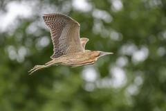 Bittern in flight (3) (Stickyemu) Tags: wildlife nature bittern bif nikond500 nikon200500mmf56 suffolk