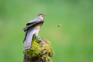 Blowin' in the Wind- Male Sparrowhawk Plucking a Crossbill