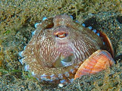 Coconut Octopus ... tucks in for the evening (oceanzam) Tags: reef ocean sea nature naturaleza scuba diving diver travel light dark shadow color colorful shell sand pier muck macro philippines marine aquatic agua nauticam olympus eye siphon tentacles octopus cephalopod water creature deep summer blue biology