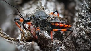 Eine Geringelte Mordwanze (Rhynocoris annulatus) saugt ihr gerade erbeutetes Opfer aus