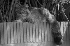 Cheshire Cat Grin ( Alice in Wonderland ) (Joe Son Nguyen) Tags: vivitar 200mm 35 m42 chesire cat alice wonderland stray
