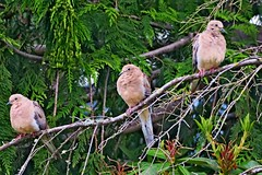 Mourning Doves, Point No Point, WA 6/30/18 (LJHankandKaren) Tags: pointnopoint pointnopointcountypark dove mourningdove