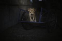La petite charrette bleue. (Âmes Animales Photographies • Cassandre SCZ) Tags: chiot chiots puppy puppies chien chiens dog dogs dogphotography dogadventure dogportrait puppyportrait nikon nikond750