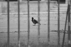 fence2 (Natalia Szeifert) Tags: blackandwhite bird crow varjú fence kerítés outdoor urbannature monochrome rook corvuscornix nopeople one