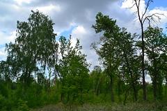 Inclination in trunks (МирославСтаменов) Tags: russia togliatti forest birch linden oak cloudscape edge