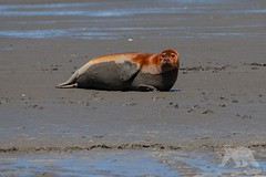 Harbour Seal (fascinationwildlife) Tags: animal mammal robbe seehund harbour sea seal wadden meer wattenmeer nordfriesland deutschland germany flat low tide ebbe coast shore resting wild wildlife nature natur national park europe
