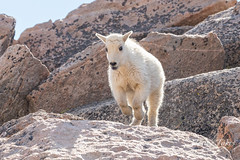 Mountain Goat kid bounds by - Sequence - 6 of 17