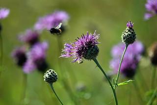 Bee landing on knapweed