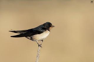 Andorinha-das-chamines, European Swallow (Hirundo rustica)