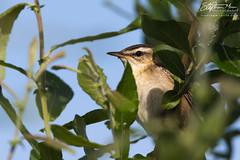 Reed Warbler peeking (One Macey) Tags: warbler reedwarbler stephenmace stephenmacephotography framingwildlife nikond500 nikon sigma150600 bird