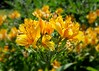 Summer Lily (Bob.W) Tags: lily coth5 ngc