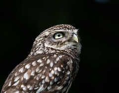 lil owl (FireDevilPhoto) Tags: bird owl birdofprey animal wildlife carnivore beak animalshunting feather nature animaleye animalsinthewild hawkbird brown closeup looking night blackcolor staring animalhead