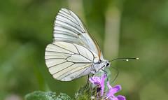 Black-veined White (thegrolffalo) Tags: blackveinedwhite aporiacrataegi butterfly insect animal nature naturalhistory macro depthoffield nikond850 105mm valmanya pyrenees france ocitainie