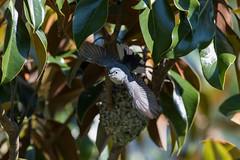 No Bother to be a Father (Scott Mu/lens) Tags: bluegraygnatcatcher birdsinflight birdinflight bif magnoliatree sweetbaymagnolia nest