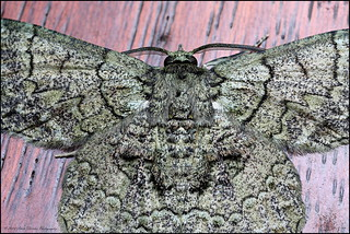 moth stack ps