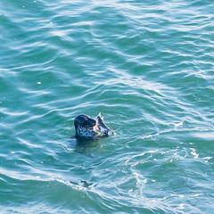 Wild Life 2 (alize_28) Tags: phoque seal animal faune poisson fish océan ocean mer sea paysage landscape nature wildlife nikon finistère bretagne france
