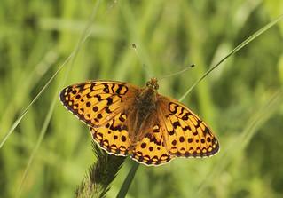 Butterfly - Dark Green Fritillary