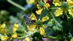 Gemeine Feldschwebfliege (Eupeodes corollae) (dl1ydn) Tags: dl1ydn schwebfliege garden blossoms 50mm leitz focotar2 nature garten fly blüten bokeh details insect insekten naturfoto feldschwebfliege altglas hoverfly animals natural sony a7r