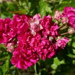 Au jardin, le temps des roses, Bosdarros, Béarn, Pyrénées Atlantiques, Nouvelle-Aquitaine, France. thumbnail