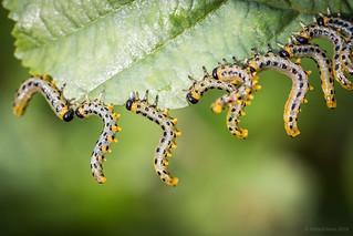 Sawfly lavae, Craesus septentrionalis