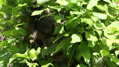 European wildcat 23-06-2018 001 (swissnature3) Tags: wildlife animals wildcat nature basel switzerland