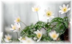 Buschwindröschen 131 (kairemwatt) Tags: buschwindröschen frühblüher